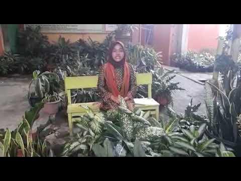 Haniy Al Hafizah - SMP ISLAM AL - ISHLAH Bukittinggi Legend of sungai janiah