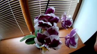 Орхидея — растение семейства орхидные. Цветение.