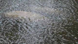 Manatees... The Gentle Giants