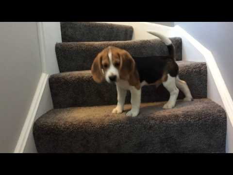 Beagle puppy learns how to go down stairs... FUNNY ENDING