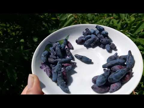 Жимолость - самые первые ягоды. Синяя птица, Голубое веретено и Шахиня.