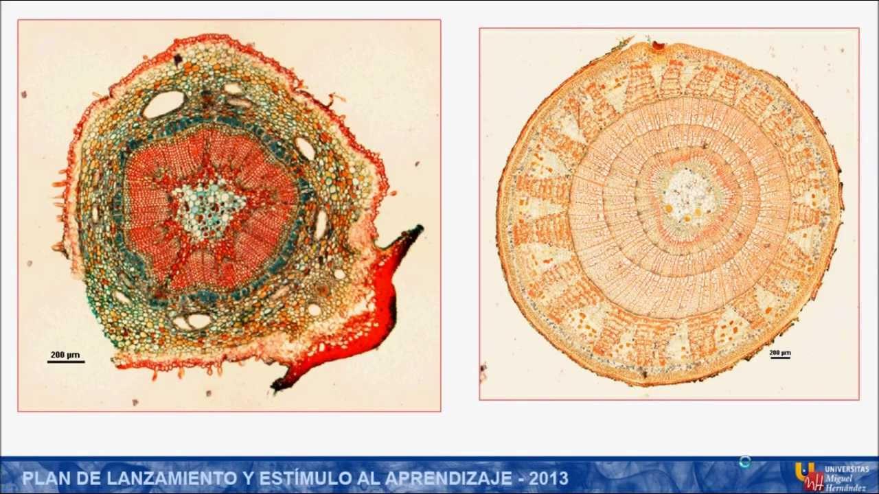 umh1152 2012-13 Práctica 4: Anatomía del Tallo - YouTube