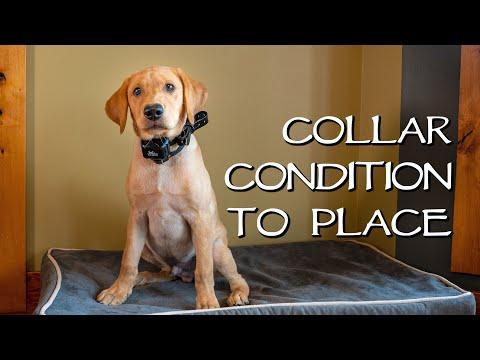 Labrador Retriever Collar Condition To Place - Gun Dog Training