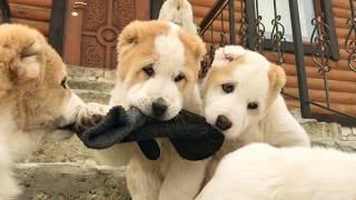 ЛУЧШИЕ ЩЕНКИ НА СВЕТЕ. ГОРДОСТЬ ГРУЗИИ. ПОРОДА: Грузинская горная собака. Киев, Украина.
