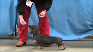 Dachshund Club Best Puppy In Show 2011.mpg