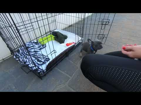 Crate Training Your French Bulldog Puppy Can Be This Easy.