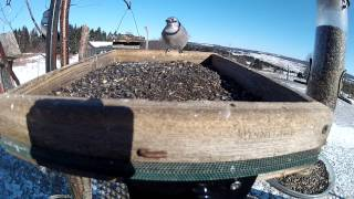Feeding With The Blue Jays On Tray Feeder   Dans La Mangeoire Avec Les Geaisbleus