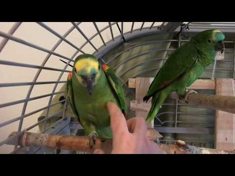 Amazon Parrot playing time!