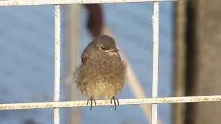 Kerti rozsdafarkú fióka (Phoenicurus phoenicurus) Redstart nestlings