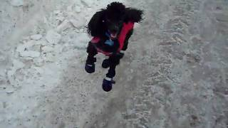 Chico Miniature Poodle Caniche Miniature Plays Ball.avi
