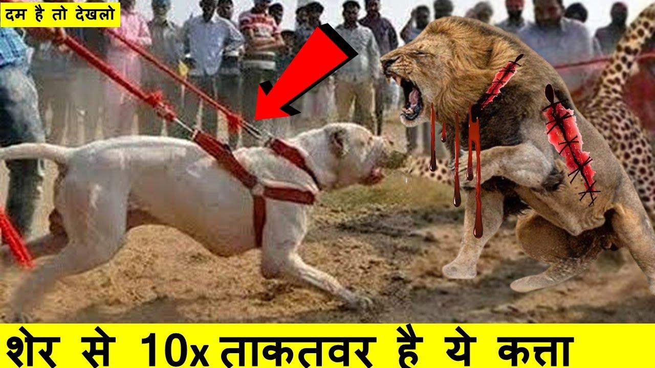 किसी शेर से भी ज्यादा खूखार और ताकतवर है ये कुत्ते   MOST DANGEROUS DOGS IN THE WORLD