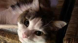 実家の母が、撮りだめている猫VTRから今回もノルウェイジャン・フォレス...