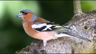Nature Sounds | Chaffinch Singing In The Forest