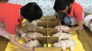 2012年7月8日に英国ラブラドール母犬クリオが出産した7頭の子犬は、元気...