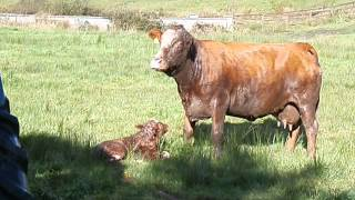 We save a cow who is calving