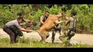 seru sapi mengamuk dan berkelahi dengan warga