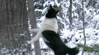 """Лайки. По """"Чернотропу"""" за Соболем.Laika. Hunting in Russial"""