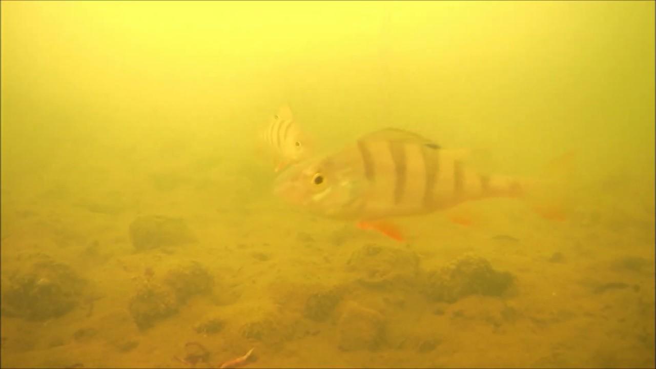 Ловля окуня на мормышку подводная съемка