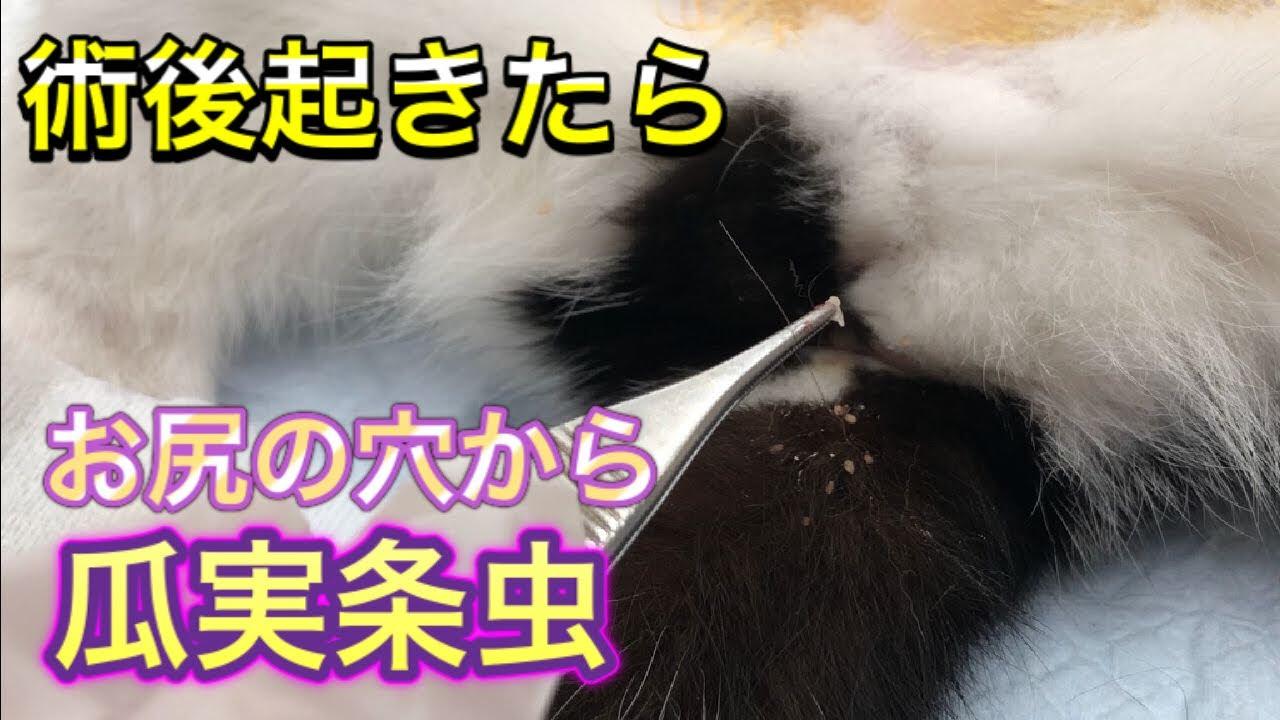 【猫の瓜実条虫】駆虫薬を飲むだけじゃダメ?どこから感染するの?