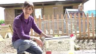 Broody Chickens - Dos And Don'ts