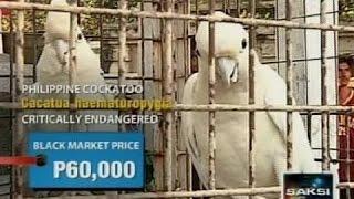 Gambar cover Saksi: Ilang critically endangered na ibon, nasabat sa loob ng Manila North Cemetery