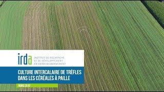 VIDÉO | Culture intercalaire de trèfles dans les céréales à pailles | IRDA
