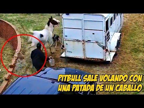 Pitbull sale VOLANDO con una Patada de un Caballo | Pitbull goes flying with a kick of a horse