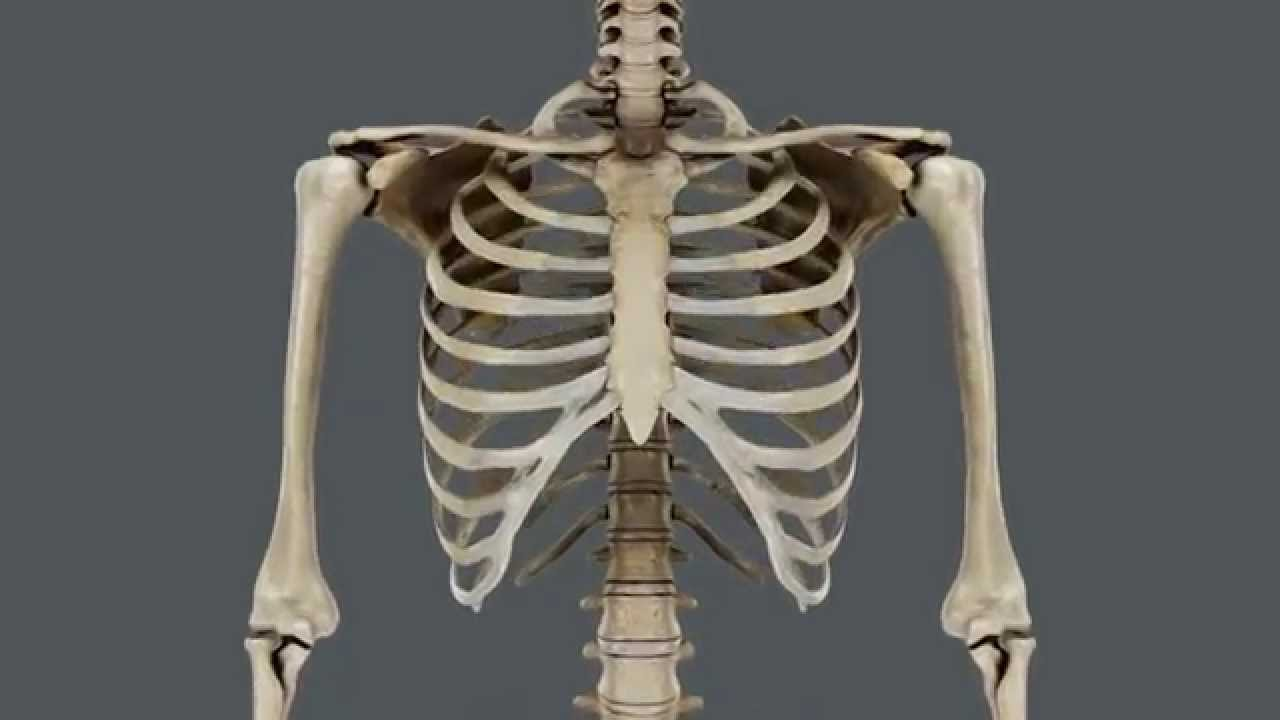 Caja torácica y músculos respiratorios. - YouTube