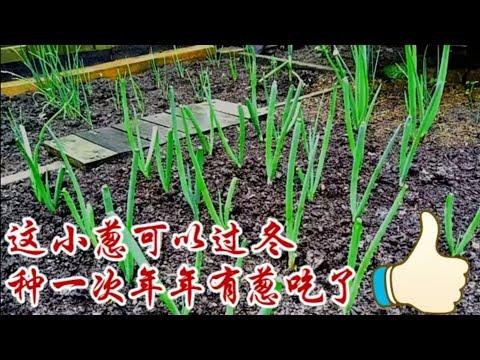 不用年年種的小蔥種植和小葱保存辦法