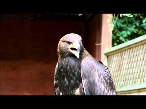 Golden Eagle calling