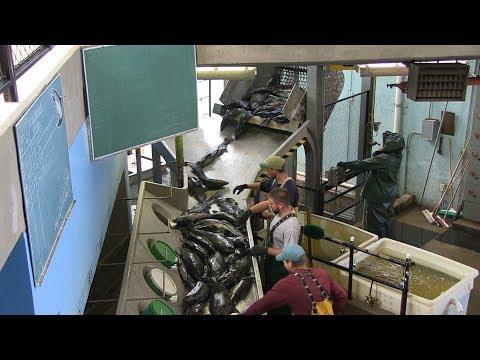 Salmon River Hatchery - Egg-take & Fertilization Process
