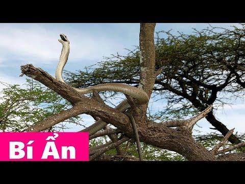 Rắn Mamba Đen Dài Và Độc Nhất Châu Phi - Ác Mộng Của Loài Người [Dendroaspis polylepis]