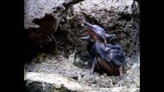 Robert E Fuller: Filming Kingfishers inside their nest thumbnail