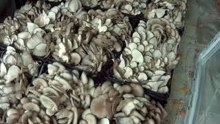 Грибы Вешенка. Продам Вешенку.Mushroom picking.