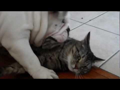 English Bulldog puppy and Cat Playing HD