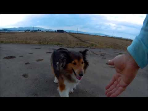 My friend Shetland Sheepdog