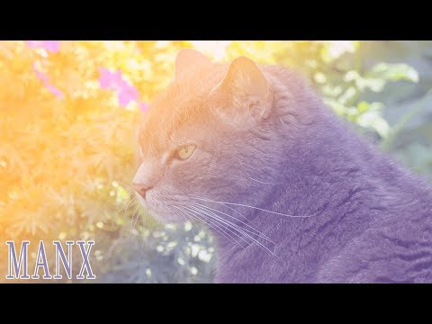 Ideal Companion: Manx | Cat Breeding Videos