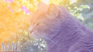 Ideal Companion: Manx | Cat Breeding Videos
