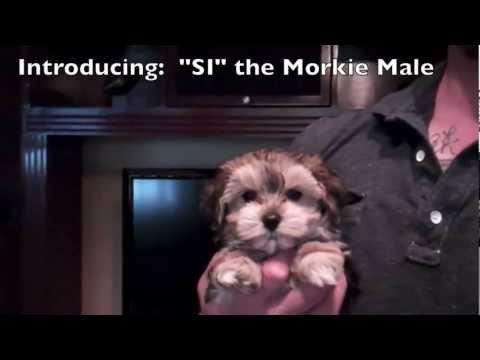 Christmas Puppies! Morkie Males (Yorkshire Terrier x Maltese Hybrid Cross) Puppy Avenue San Diego
