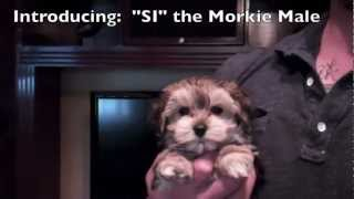 Christmas Puppies! Morkie Males (yorkshire Terrier X Maltese Hybrid Cross) Puppy Avenue San Diego