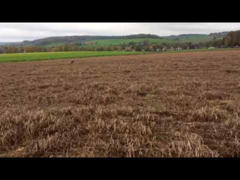 Gordon Setter Lancelot points pheasant 'with his instructive nose'