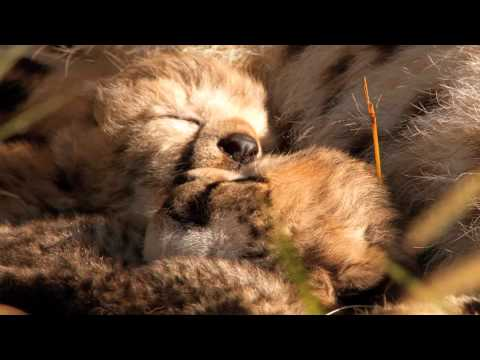 """African Cats: Kingdom of Courage  """"HD Movie Trailer"""""""