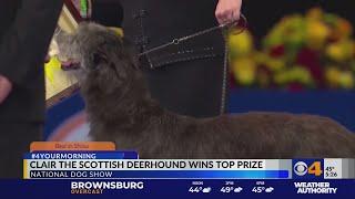 Scottish deerhound wins National Dog Show