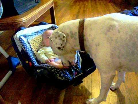 pitbull gives a baby a vicious bath