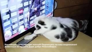 👍⚫Кот хоккеист👏болеет за Сибирь⚫✌Cat watching hockey👏aches for Siberia