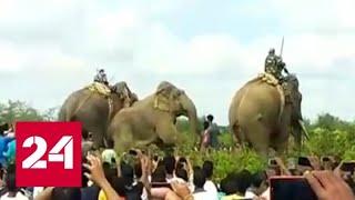 В Индии обезврежен слон бен Ладен, убивший пятерых человек - Россия 24
