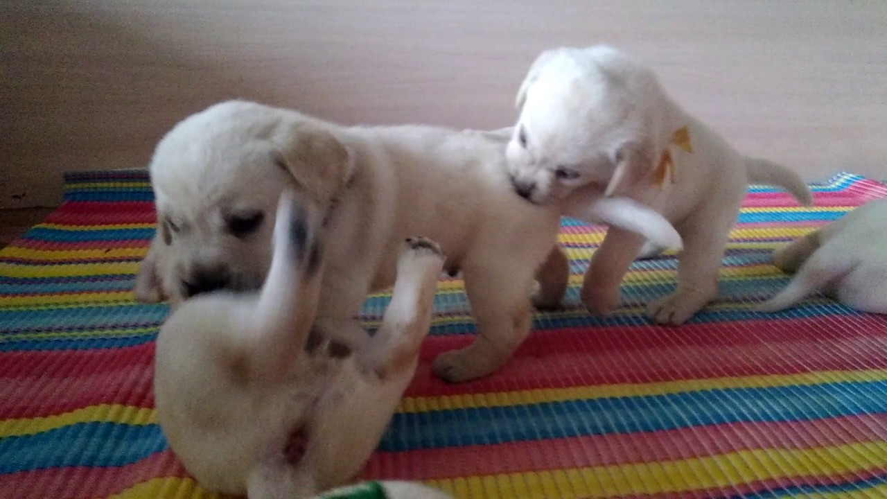щенки 1 месяц лабрадор фото