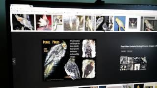 Sexing A PEARL Cockatiel
