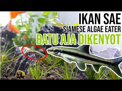 ikan-gada-akhlak,-semua-dilibas-si-rakus-sae-(siamese-algae-eater)