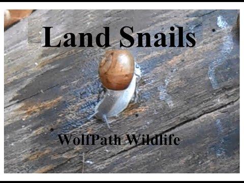 Land Snails of the Eastern United States (Mesomphix & Polygyridae)- Wolfpath Wildlife Ep. 6